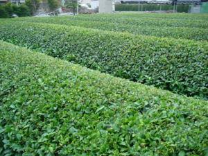 Entrepôt de thé sec emballé pour l'exportation en Inde.